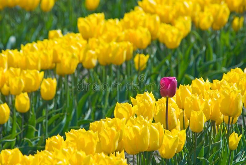 Tulipano di potenza fotografie stock libere da diritti