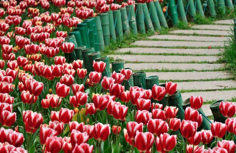 Tulipano e percorso fotografia stock libera da diritti