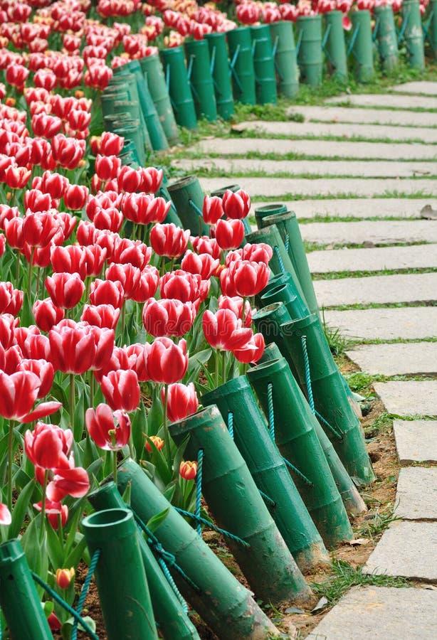 Tulipano e percorso fotografie stock libere da diritti