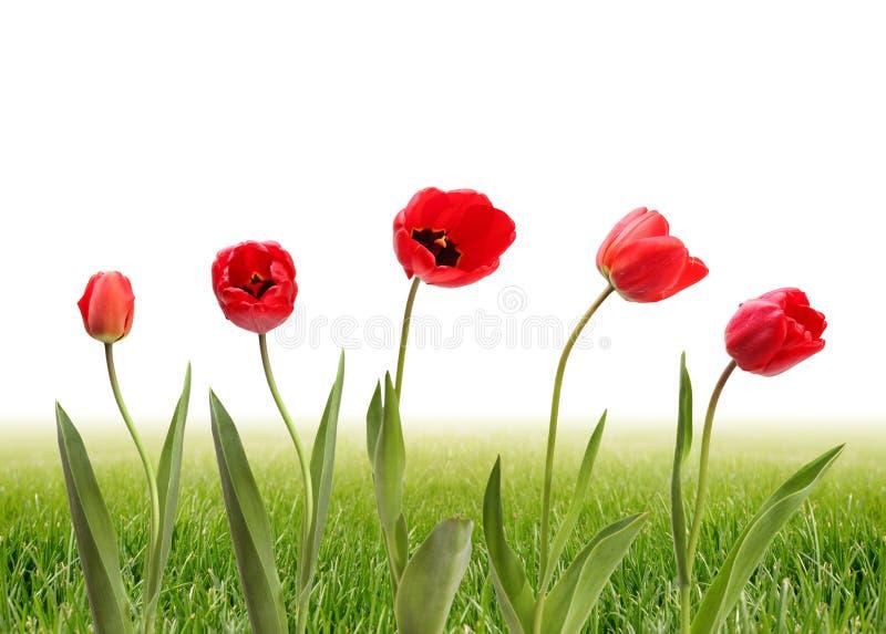 Tulipano ed erba verde immagini stock