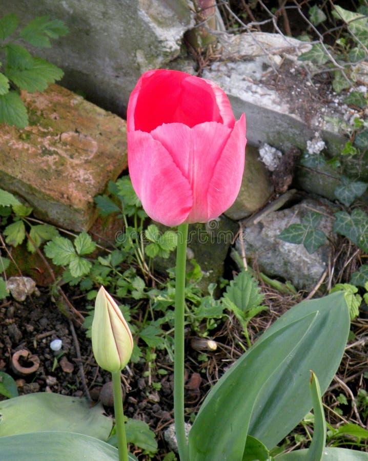Tulipano Fiori nel giardino in un giorno soleggiato fotografia stock