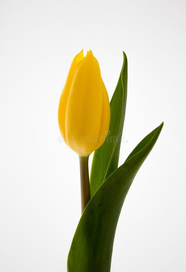 Tulipano giallo contro fondo bianco immagini stock