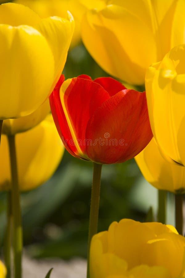 Tulipano giallo della banda fotografia stock libera da diritti
