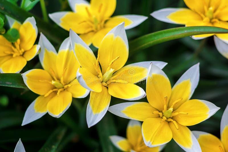 Tulipano giallo e bianco che sboccia nel giardino su sfondo naturale (Tulip Tarda, tulipano recente) fotografia stock libera da diritti