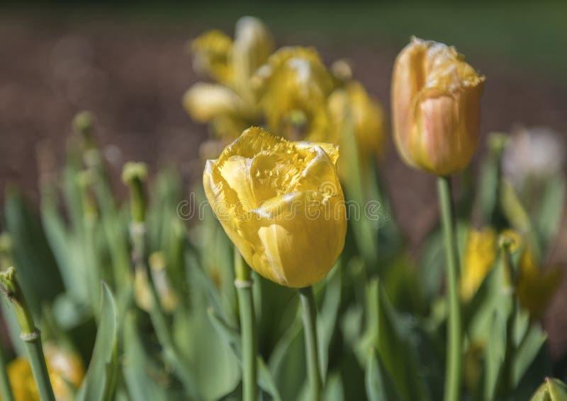 Tulipano giallo guarnito, Dallas Arboretum immagini stock