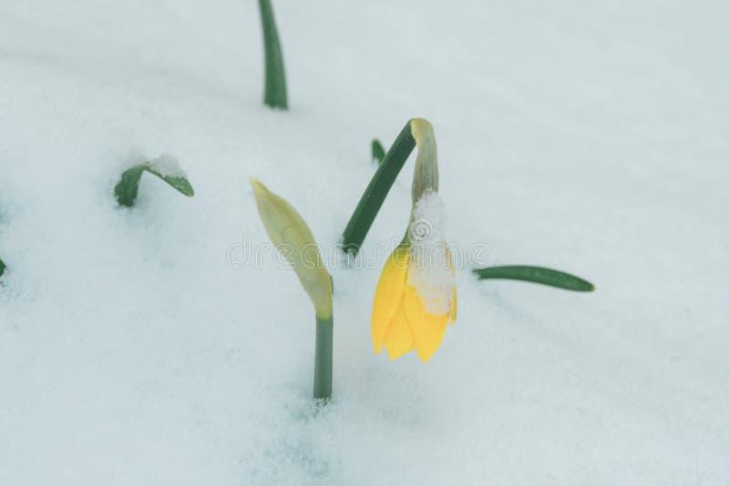 Tulipano giallo in neve immagine stock