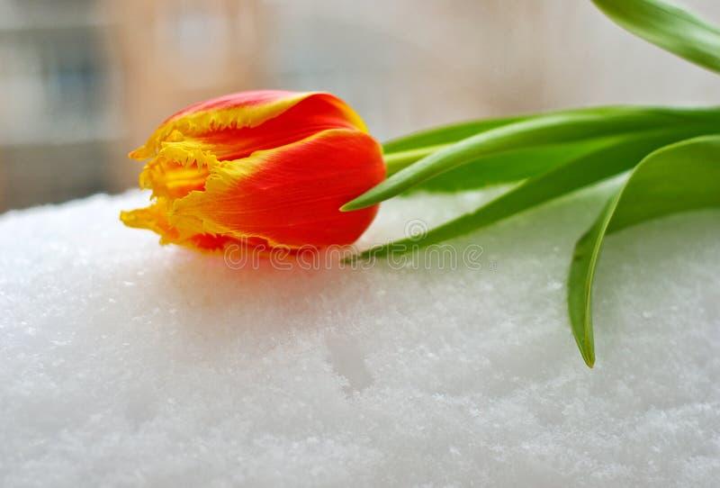 tulipano Giallo-rosso sulla neve immagini stock