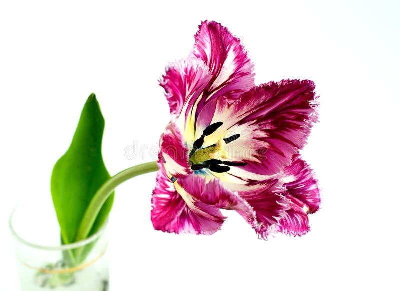 Tulipano guarnito immagini stock libere da diritti