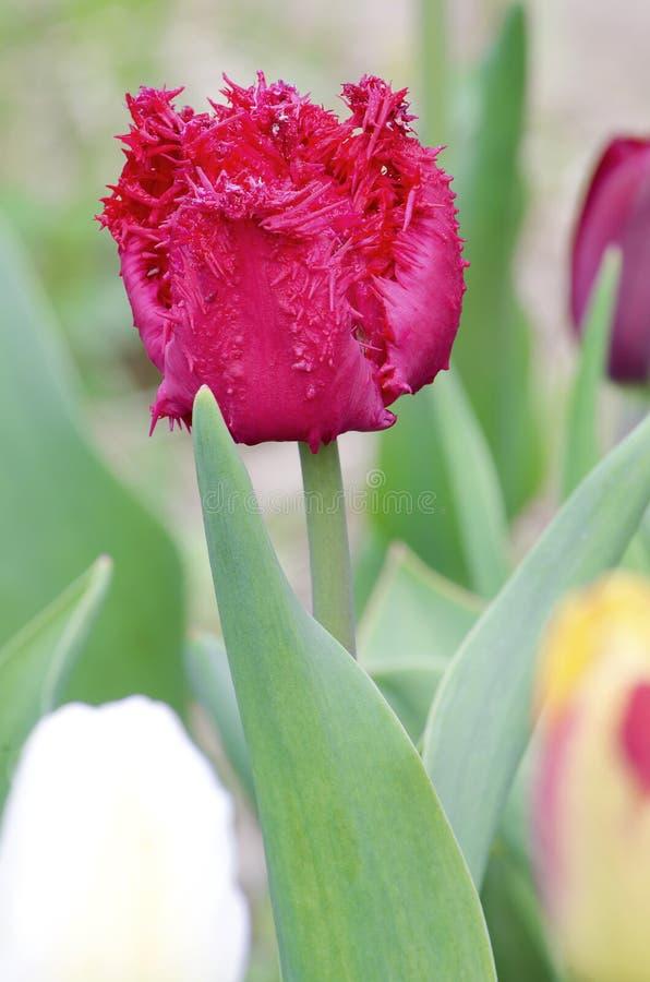Tulipano guarnito rosso fotografia stock libera da diritti