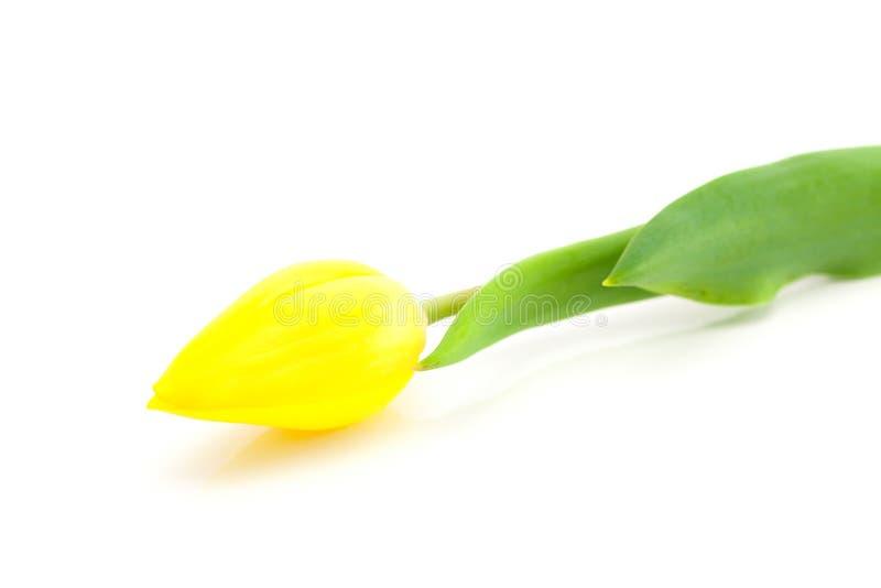 Tulipano isolato su bianco fotografia stock