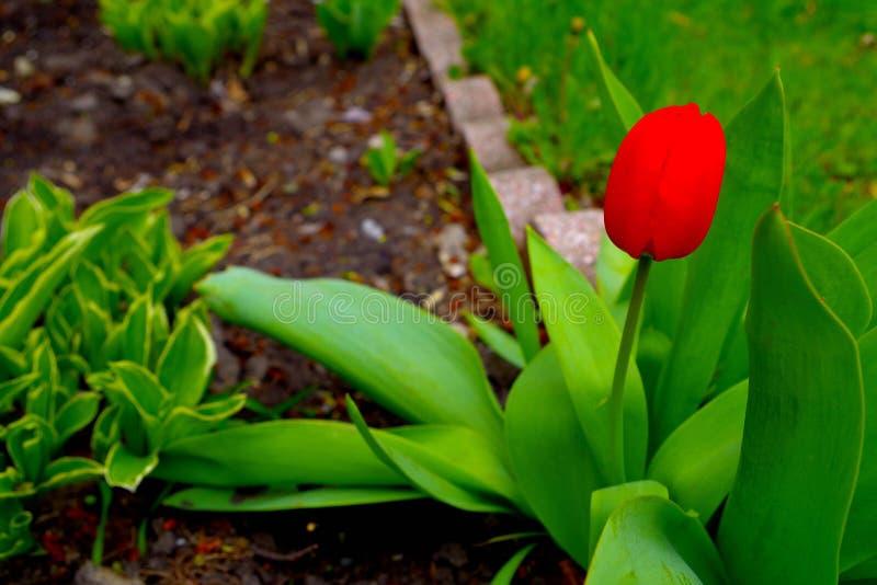 Tulipano luminoso fotografie stock libere da diritti