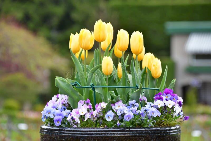 Tulipano nei giardini di Butchart Victoria BC fotografie stock libere da diritti