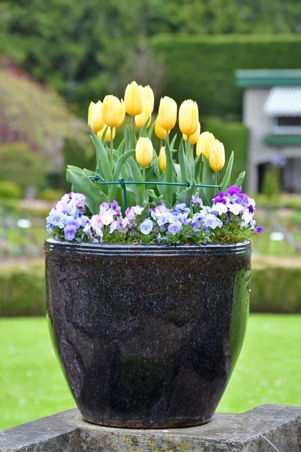 Tulipano nei giardini di Butchart Victoria BC fotografie stock