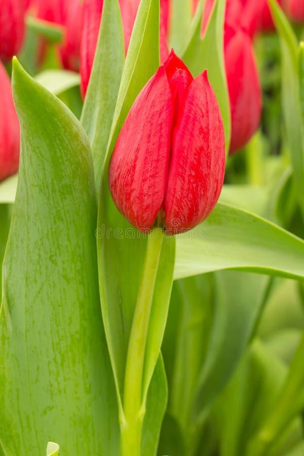 Tulipano nel campo fotografia stock libera da diritti