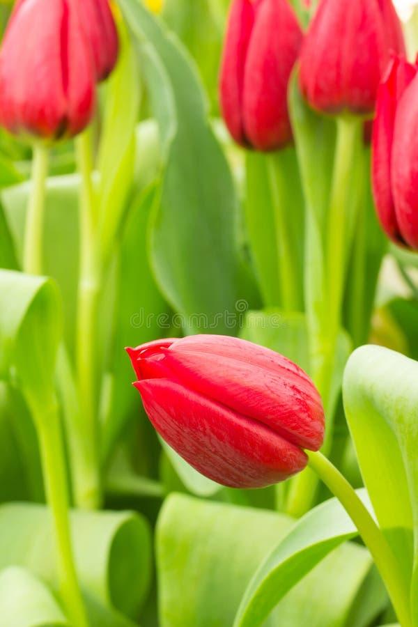 Tulipano nel campo immagine stock