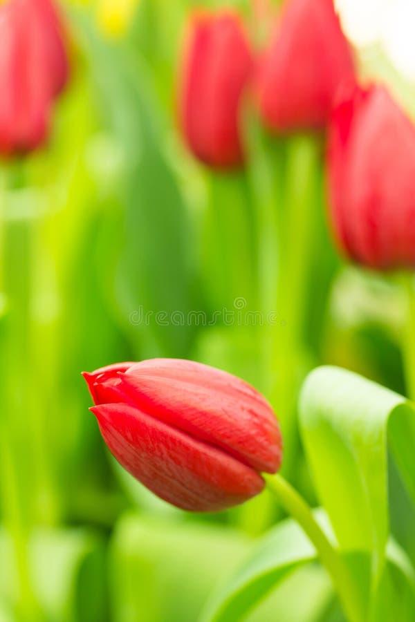 Tulipano nel campo immagini stock libere da diritti
