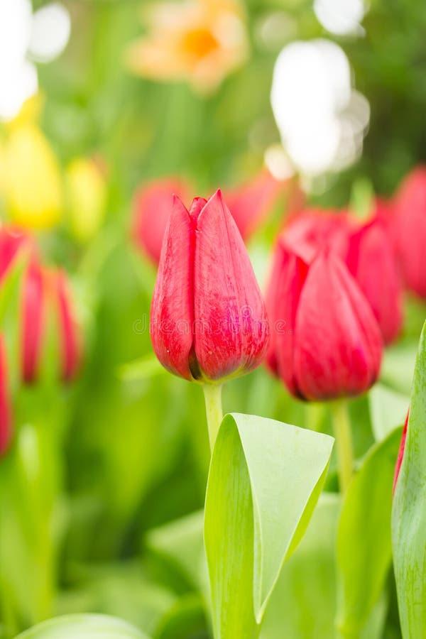 Tulipano nel campo immagine stock libera da diritti