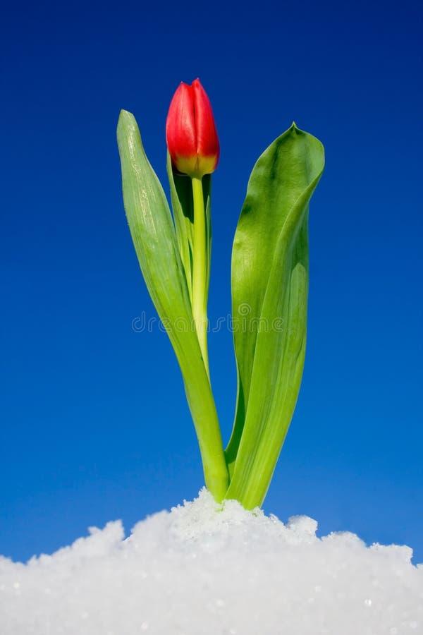 Tulipano nella neve fotografia stock