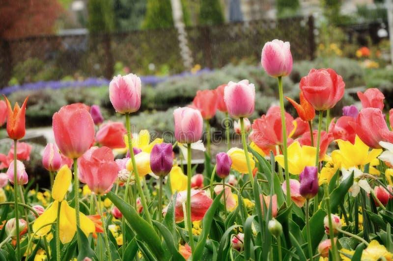 Tulipano nella pioggia immagini stock libere da diritti