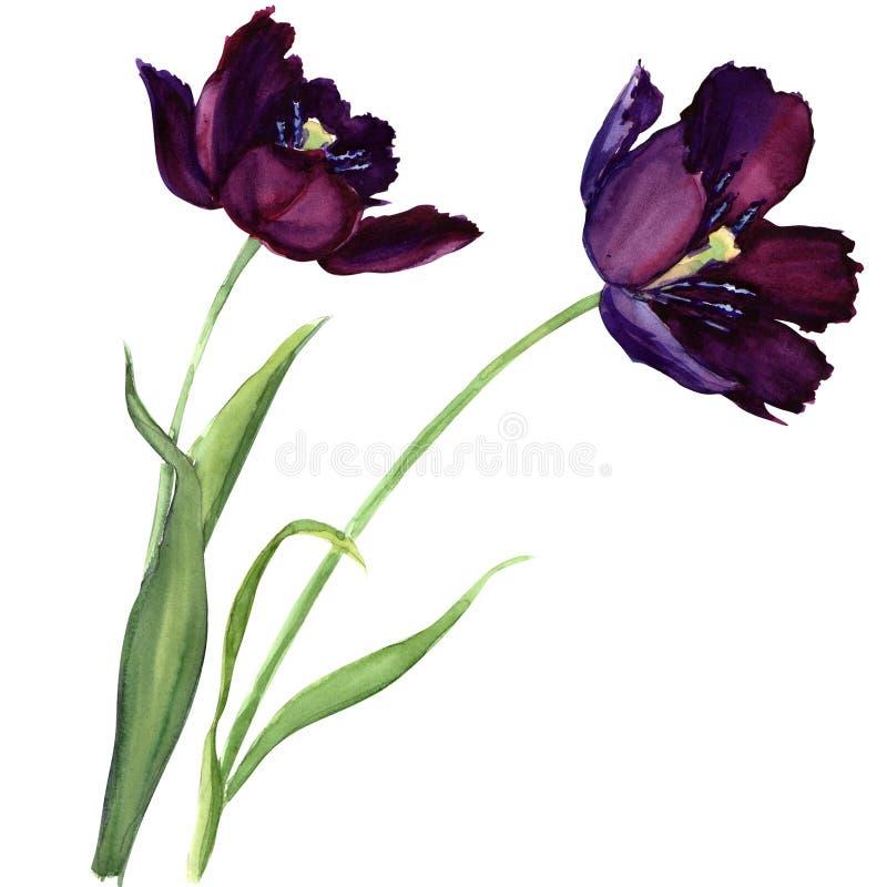 Tulipano porpora isolato su fondo bianco illustrazione vettoriale