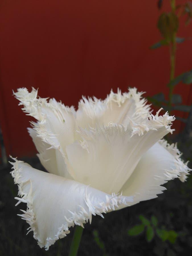 Tulipano puro immagini stock libere da diritti