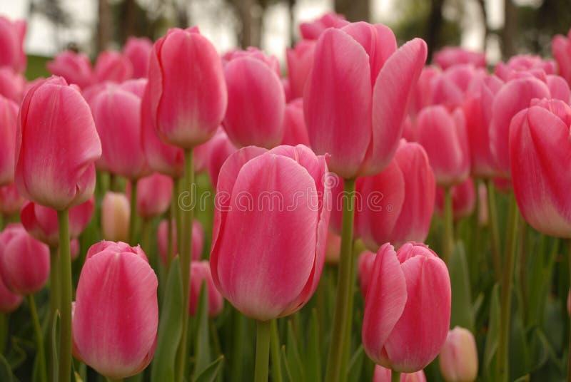 Tulipano rosa immagini stock