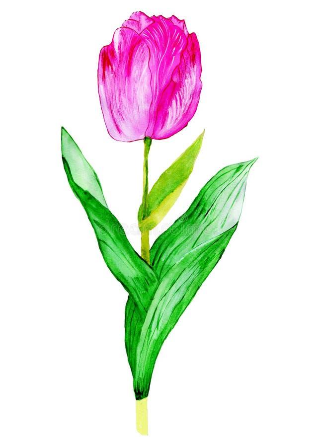 Tulipano rosa con le foglie verdi royalty illustrazione gratis