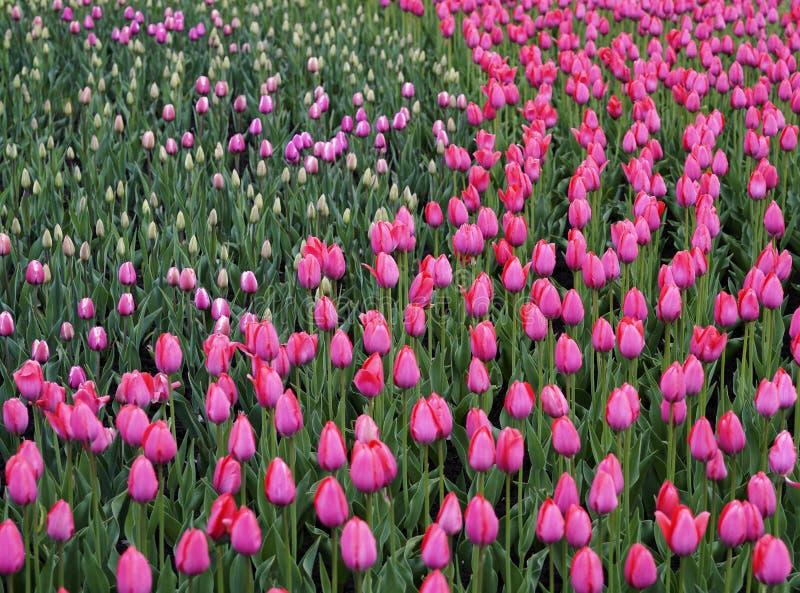 Tulipano rosa dei fiori Il germoglio di una molla fiorisce Campo di bei tulipani Vista laterale Per il disegno immagine stock