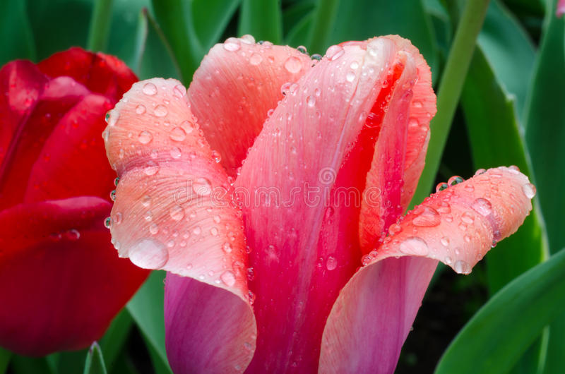 Tulipano rosa dopo una pioggia di molla di primo mattino immagini stock libere da diritti