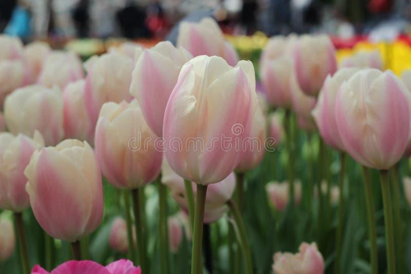 Tulipano rosa e bianco fotografia stock libera da diritti