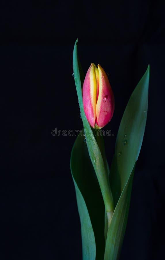 Tulipano rosa e giallo con le goccioline di acqua fotografie stock