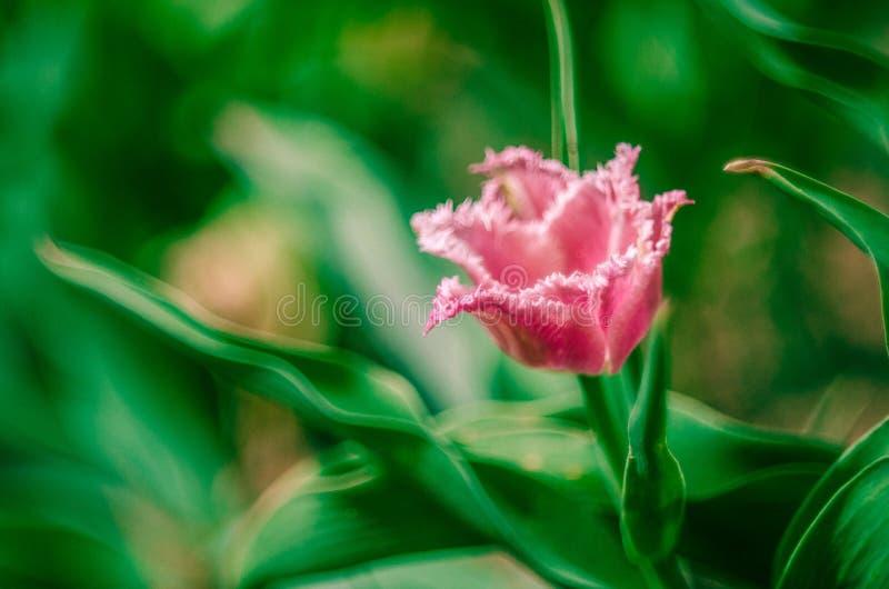 Tulipano rosa guarnito fotografie stock libere da diritti