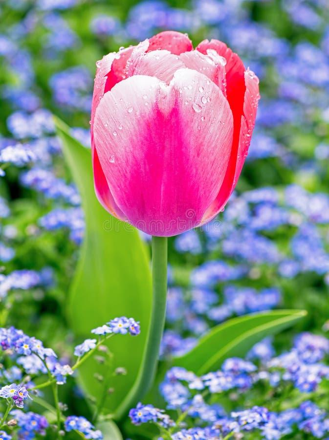 Tulipano rosa su sfondo naturale fotografia stock