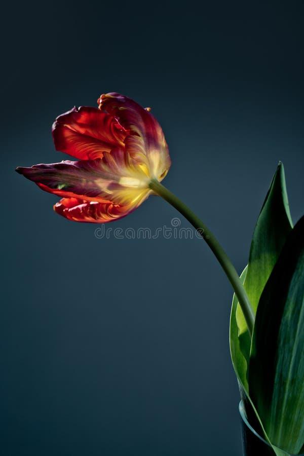 Tulipano rosso immagini stock libere da diritti