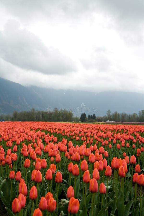 Tulipano rosso immagine stock libera da diritti
