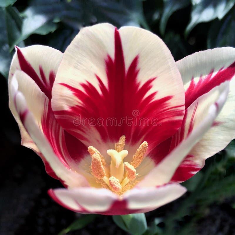 Tulipano rosso & bianco immagine stock libera da diritti