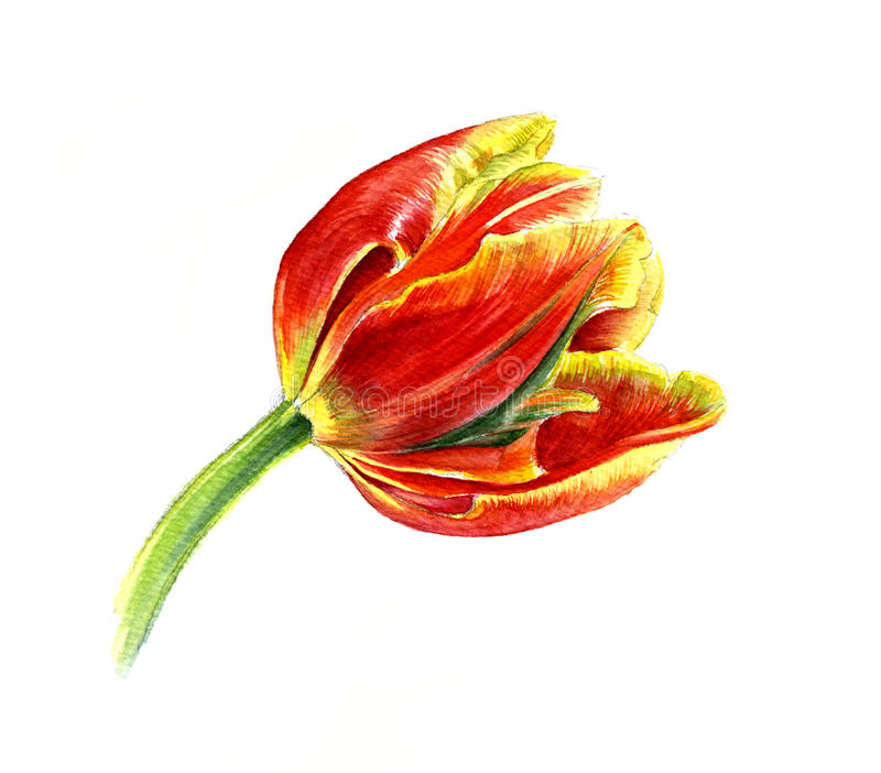 Tulipano rosso con i bordi gialli Schizzo dell'acquerello, immagini stock libere da diritti
