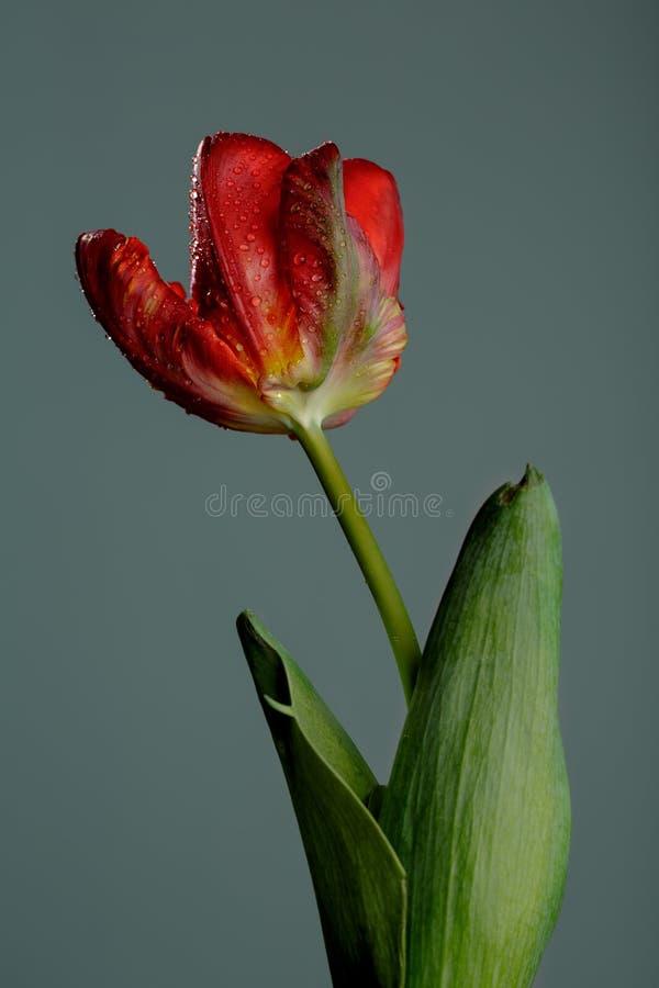 Tulipano rosso con rugiada fotografia stock libera da diritti