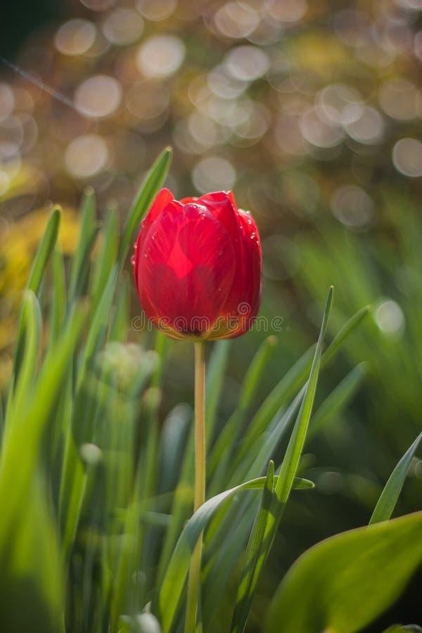 Tulipano rosso con rugiada fotografia stock