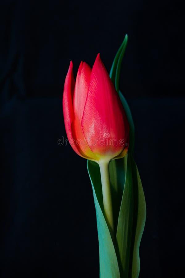 Tulipano rosso contro un fondo nero immagine stock
