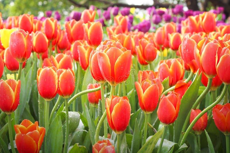Tulipano rosso dolce dei fiori variopinti con il gambo, le foglie verdi e le gocce di acqua fiorenti in giardino, fondo di mattin fotografie stock libere da diritti