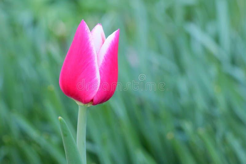 Tulipano rosso e bianco su fondo verde fotografia stock libera da diritti