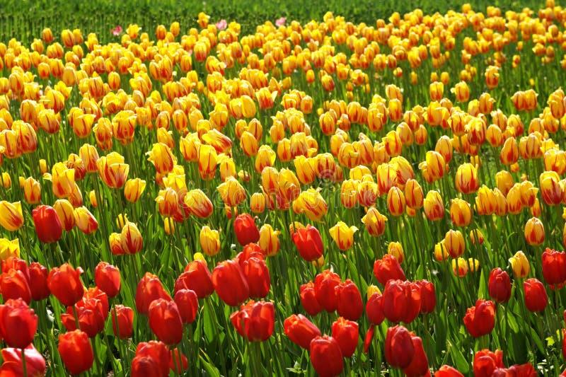 Tulipano rosso e giallo immagini stock