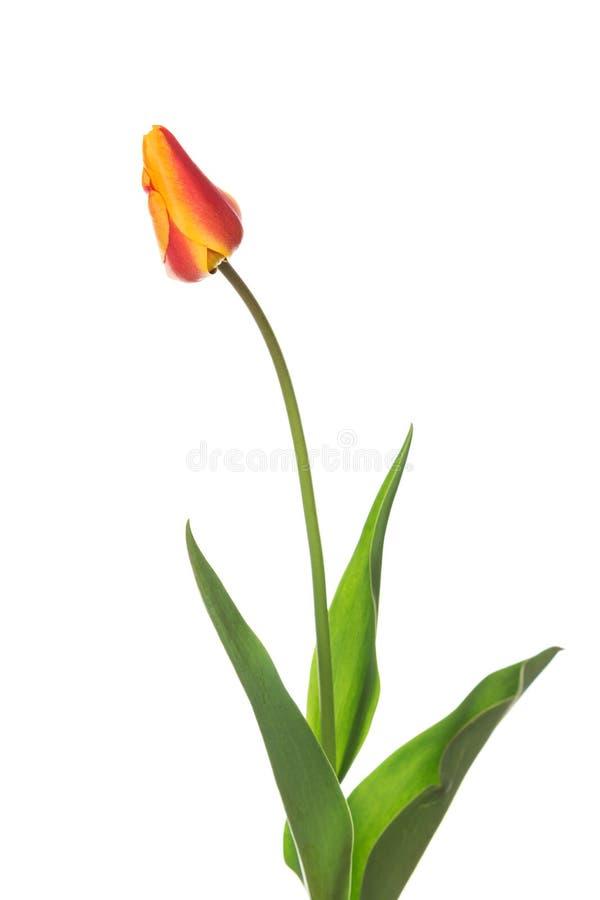 Tulipano rosso e giallo di colore due fotografia stock libera da diritti