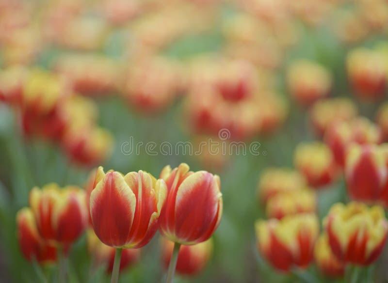 Tulipano rosso giallo su uno sfondo luminoso fotografie stock