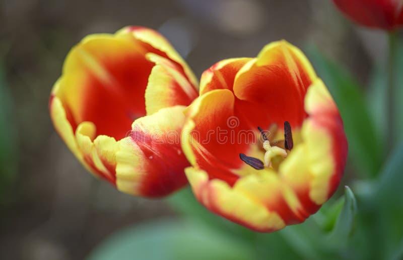 Tulipano rosso giallo su uno sfondo luminoso immagine stock libera da diritti