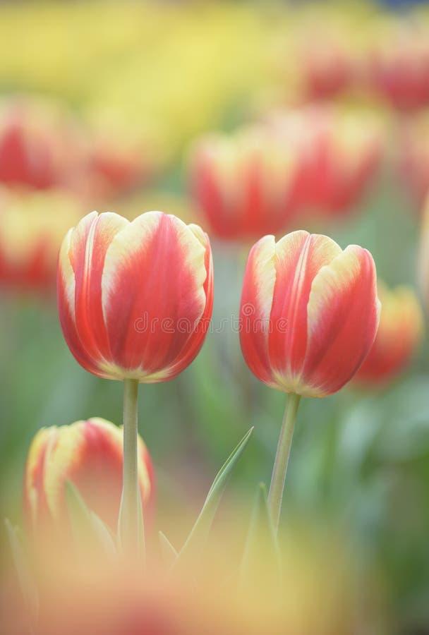 Tulipano rosso giallo su uno sfondo luminoso fotografia stock