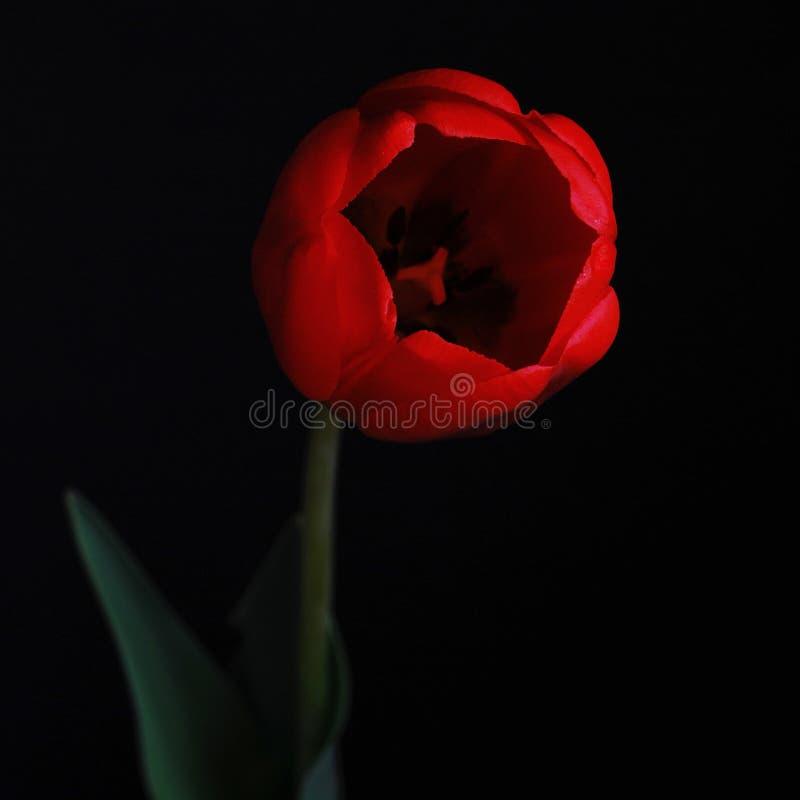 Tulipano rosso scuro I , fondo nero immagini stock