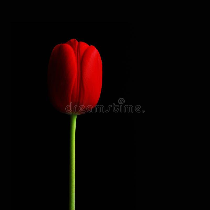 Tulipano rosso scuro II , fondo nero immagine stock libera da diritti