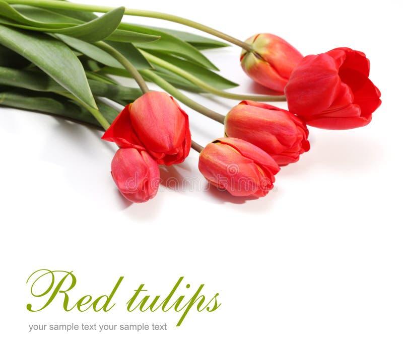 Tulipano rosso su bianco fotografia stock